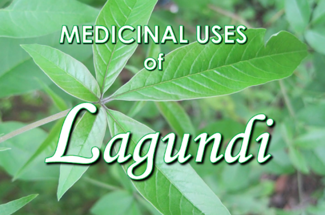 Among the herbal plants, Vitex Negundo or Lagundi is one of the  medicinal plants recognized by The Department of Health in the Philippines. Studies show that lagundi contains chrysoplenol D that relaxes the muscles and has anti-histamine properties. It also contains isoorientin, casticin, luteolin-7-0-glucoside and other things that release antihistamine effect.it also suppress leukotriene,a vital property that prevents asthma. Every part of this plant like the leaves, roots, flowers and the seeds can be used as a medicine. Advertisement        Sponsored Links     Lagundi also appears to have analgesic effects according to studies, lagundi can be lined up with medicines like aspirin in terms of efficacy.  DIFFERENT PARTS OF LAGUNDI AND ILLNESSES THEY CAN CURE:  LEAVES: Asthma A cough Fever Flu  FLOWERS: Diarrhea Cholera Fever Liver Problems Recommended strengthening the heart.  SEEDS: Inflammation in the mouth Skin diseases Leprosy  ROOTS: Constipation Rheumatism Colic Intestinal Worms Boils  PREPARATION:  TEA: Wash the leaves thoroughly and mince it into small pieces. Measure one cups of water for every one cup of freshly minced lagundi leaves. Boil it in a low fire for 15 minutes. Set to cool and strain. For a cough and asthma, drink 1/3 cup 2 times a day. For fever and flu,1/3 cup every 4 hours. Tea preparation procedure can also be used for flowers, seeds, and roots.  READ MORE:  Find Out Which Country Has The Fastest Internet Speed Using This Interactive Map      Find Out Which Is The Best Broadband Connection In The Philippines   Best Free Video Calling/Messaging Apps Of 2018    Modern Immigration Electronic Gates Now At NAIA    ASEAN Promotes People Mobility Across The Region    You Too Can Earn As Much As P131K From SSS Flexi Fund Investment    Survey: 8 Out of 10 OFWS Are Not Saving Their Money For Retirement    Can A Virgin Birth Be Possible At This Millennial Age?    Dubai OFW Lost His Dreams To A Scammer    Support And Protection Of The OFWs, Still PRRD's Priority