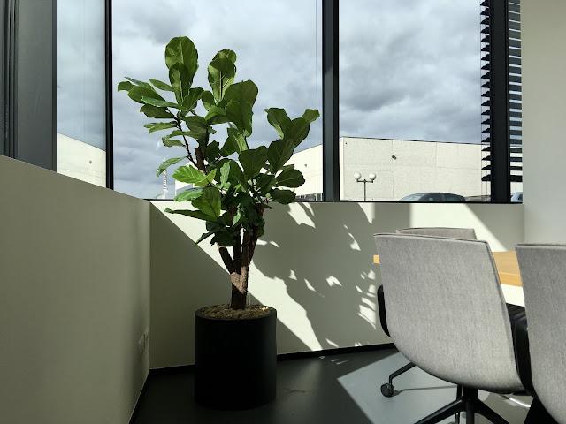 Online grote ficus planten soorten op een rek kopen en huren die weinig licht nodig hebben of donker kunnen staan en goed zon verdragen en weinig water nodig hebben en onderhoud en meststoffen verzorging van kamerplanten interieur in bedrijven