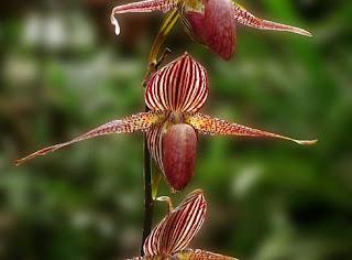 Bunga Anggrek Emas Kinabalu