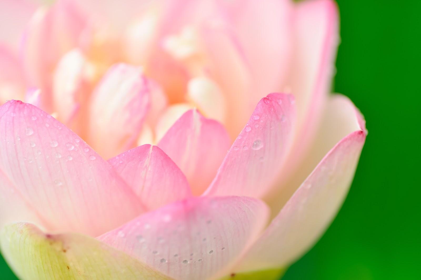 薄いピンクの蓮の花