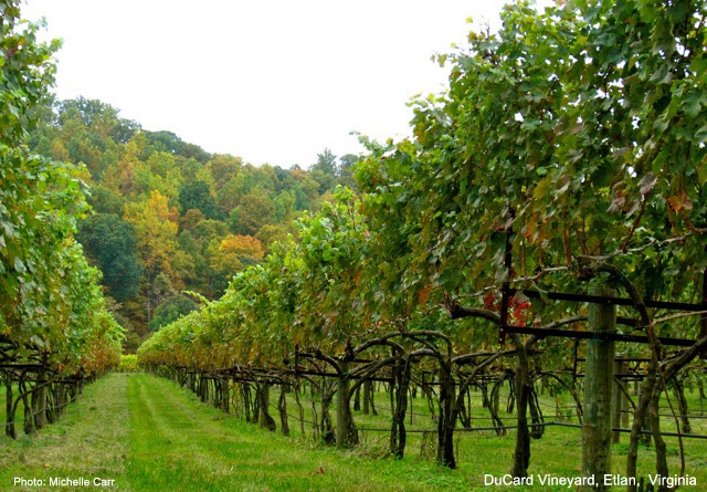 Ducard Vineyard. Etlan, VA. Photo: Copyright Michelle Carr 2013 / Travel Boldly.com