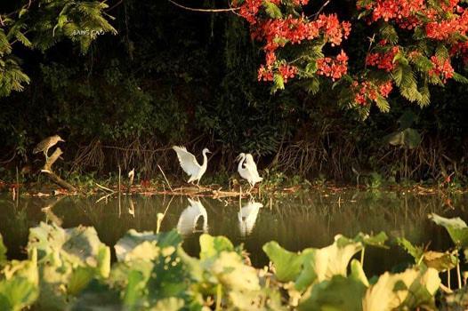Khám phá đảo cò tuyệt đẹp ít người biết giữa lòng Hưng Yên