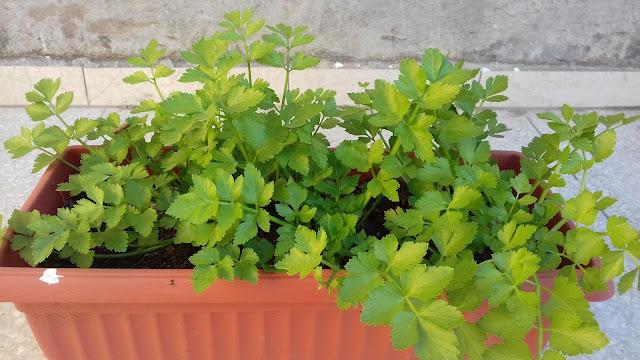 زراعة الكرفس في المنزل