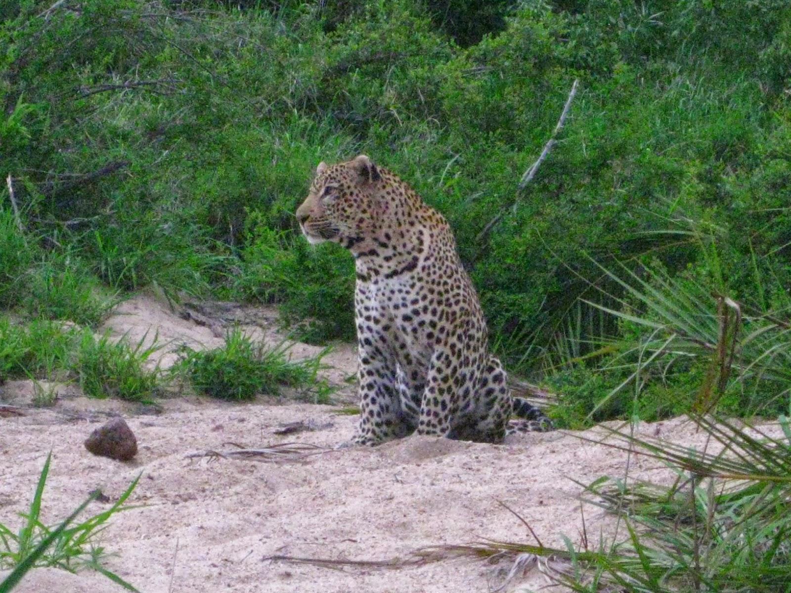 Sabi Sands - The leopard stops to rest