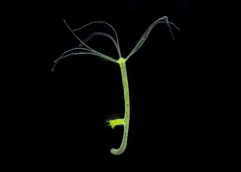 hydra and chlorella relationship