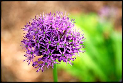 bright purple flower that looks like fireworks