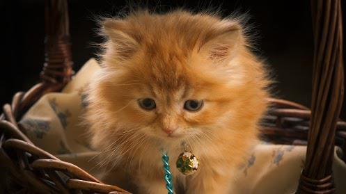 gatito cascabel