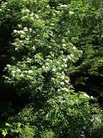 Elderflowers at the bottom of the garden