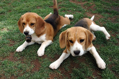 beagles puppies dogs