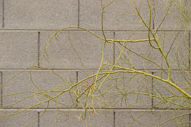 parkinsonia, sonoran, desert, small sunny garden, amy myers, photography