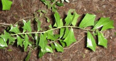 Berberis ruscifolia