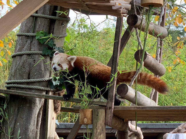 A red panda eating some Bamboo