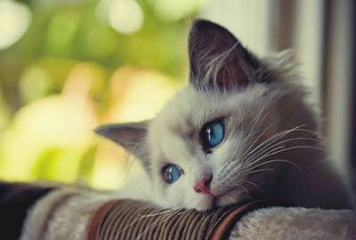 penyakit pada kucing