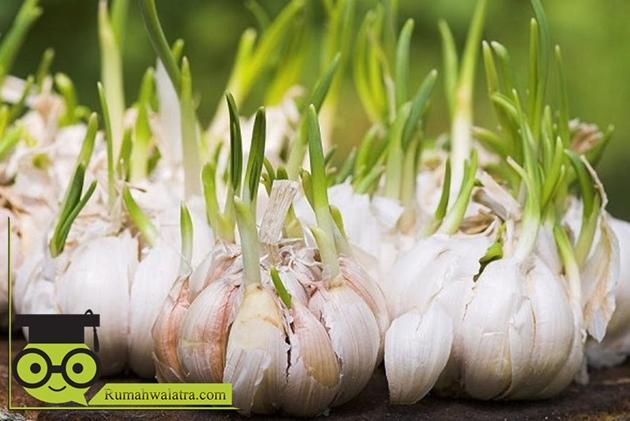 Cara Mengobati Kolesterol Tinggi Dengan Bawang Putih