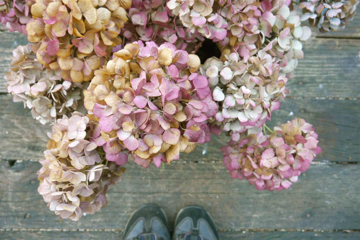 How to dry garden hydrangeas for wreath making, make a hydrangea wreath with garden hydrangeas, autumn hydrangeas, hydrangea flowers in autumn, pail of autumn hydrangeas, hydrangea wreath making, DIY hydrangea wreath