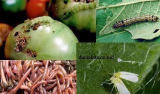 serangan hama tomat paling berbahaya