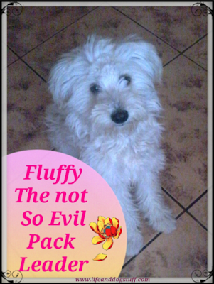 Fluffy the Not So Evil Pack Leader