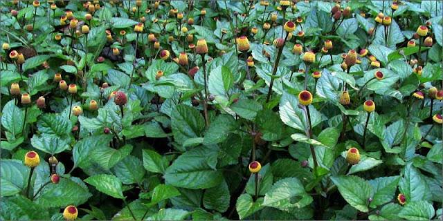 Electric daisy – Acmella oleracea