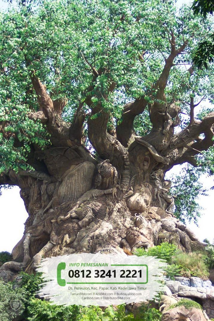 Jual Bibit Pohon Kunto Bimo / Sosis