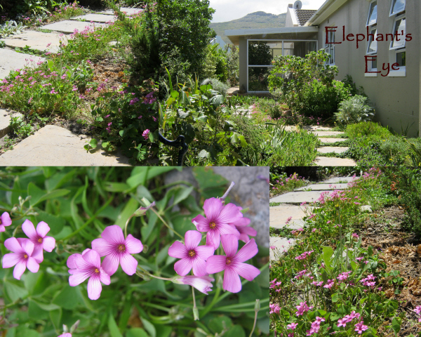 Pink Oxalis found in a False Bay pot then spread as a border