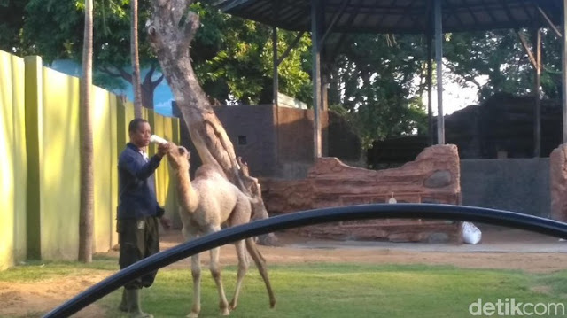 Protes Nama Anak Unta, FPI Geruduk Kebun Binatang Surabaya