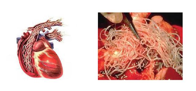 Izgled srčanog crva - Panvet