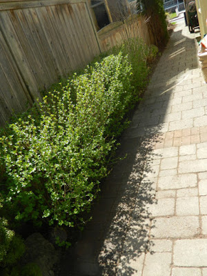 Toronto Roncesvalles spring garden cleanup after by Paul Jung Gardening Services