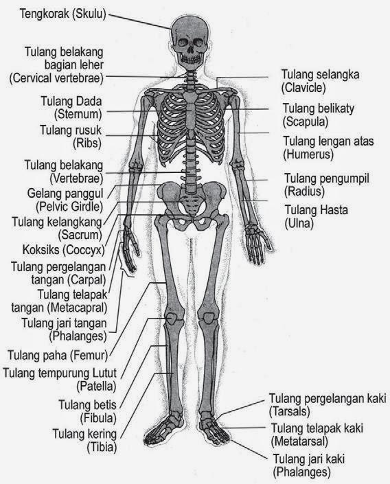 Apa Fungsi Tulang Telapak Kaki : fungsi, tulang, telapak, Fungsi, Tulang, Pergelangan, Berbagi, Informasi