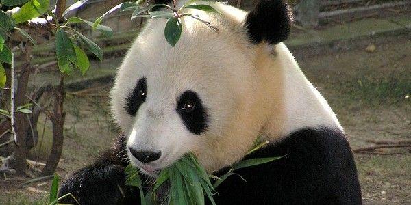 IELTS Academic Reading Practice (9) Giant Panda