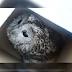 В Харькове спасают сыча со сломанным крылом (Видео)