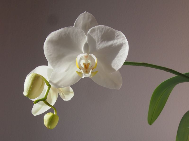 Orchideen-ganzjaehrige-fruehlingsfrische-im-ganzen-haus