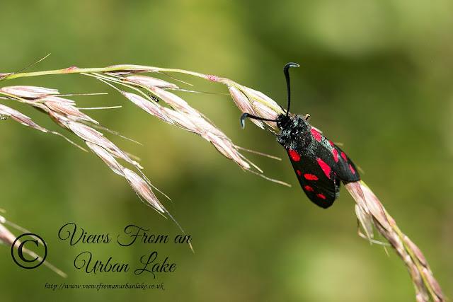 6 Spot Burnet - Loughton Valley Park, Milton Keynes