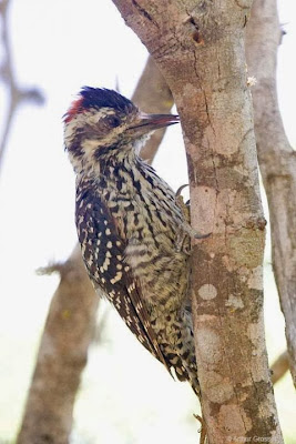 Striped Woodpecker