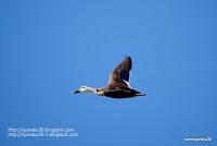 飛行するカルガモの写真