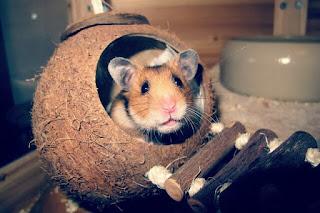 Ciri-Ciri Hamster Hamil yang Paling Menonjol