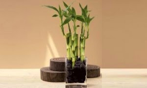 Planta caña bambu