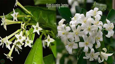 night-blooming jasmine flower, night blooming jasmine
