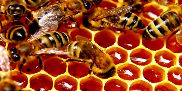 Πωλείται μέλι πευκοθύμαρου στον Πύργος Ηλείας