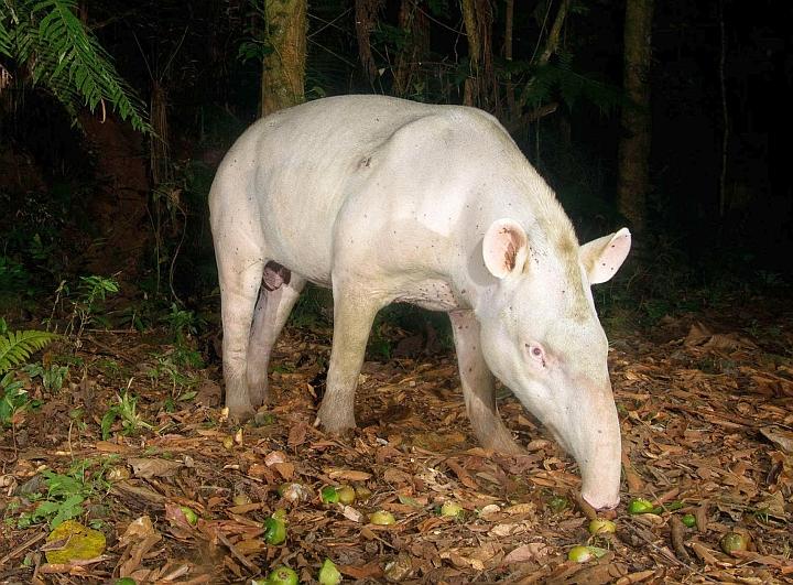 Tapir | A-Z List of 125 Rare Albino Animals [Pics]