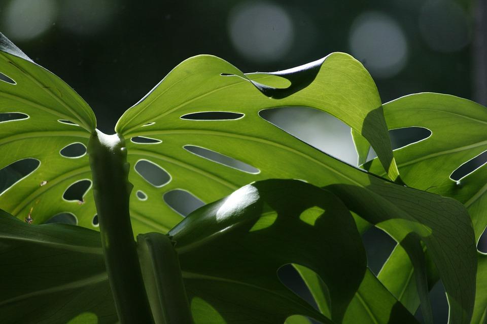 Monstera dziurawa - modna roślina, jak ją uprawiać