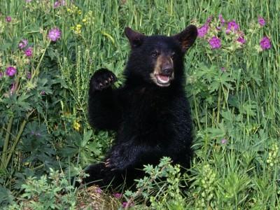 Funny black bears cubs |Funny Animal |Funny Black Bear Family