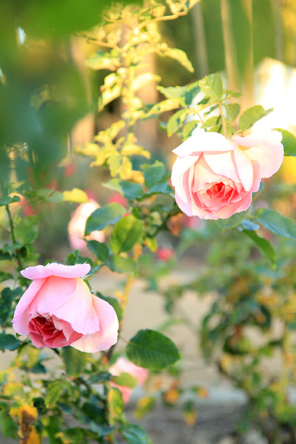 Pink Cottage Chic Roses Flower Photography by Mademoiselle Mermaid