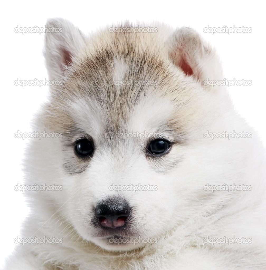 Cute Puppy Dogs: Brown siberian husky puppies   1008 x 1024 jpeg 270kB