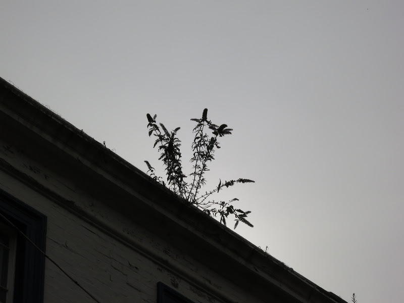 SILHOUETTE OF BUDDLEIA ON A ROOFTOP