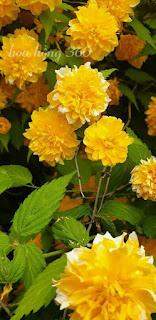 hoa hồng tầm xuân vàng có tên gọi là kerria japonica , một loại hoa hồng vàng nhật bản