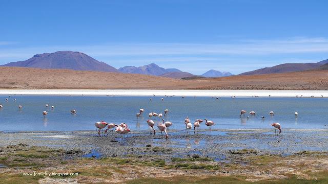 Pink Flamingos, Laguna Canapa, Uyuni Salt Flats Tour, Bolivia