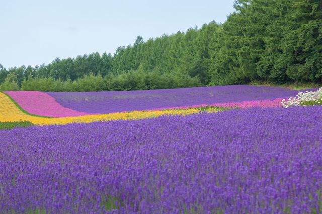 cánh đồng hoa oải hương đẹp nhất thế giới 8