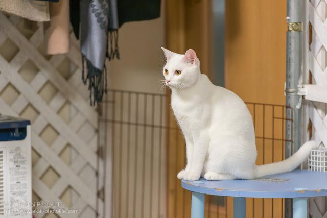 猫カフェ西国分寺シェルターの大部屋にいた顔立ちが整った可愛い白猫