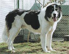 Bucovina Shepherd Dog-pets-dogs-dog breeds