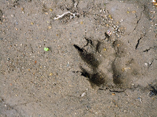 smaller dog print in mud.